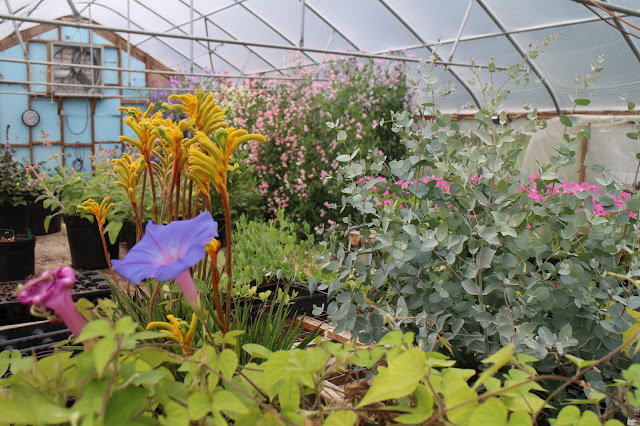 chickadee hill flowers, greenhouse, maine gardening, farmer florist, island, kangaroo paw flowers, sweet peas, morning glories, eucalyptus plant