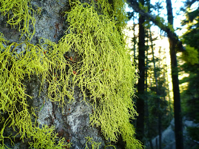 Letharia vulpina – Wolf Lichen on Ponderosa Pine on the Way Up to Colchuck Lake