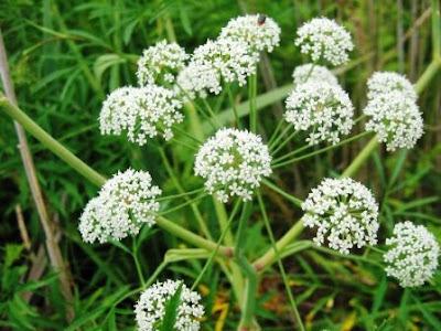 Cicuta (Conium maculatum).