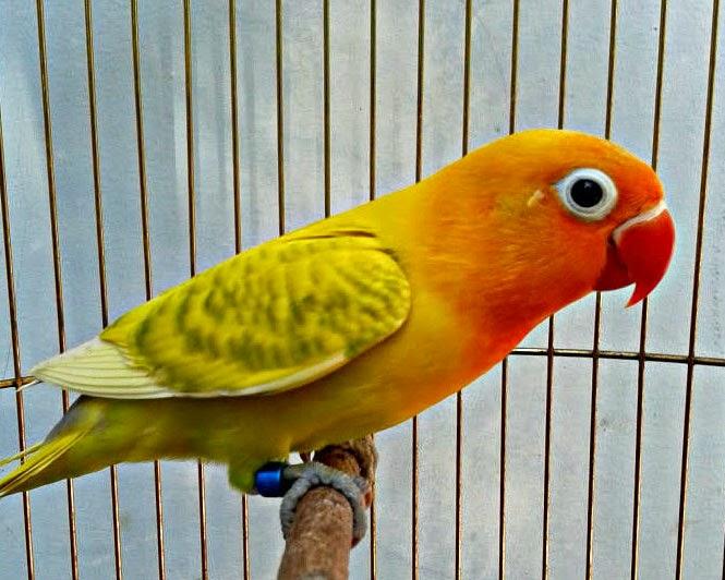 lovebird blorok informasi pasaran harga dan foto galeri