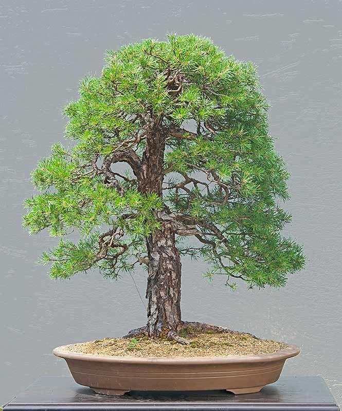 walter pall bonsai adventures scots pine 3 old needles. Black Bedroom Furniture Sets. Home Design Ideas