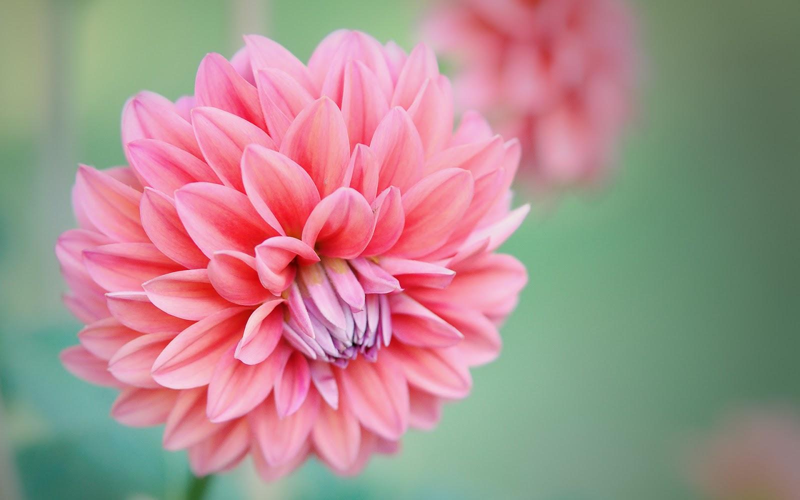 bonitas y grandes de color rosa