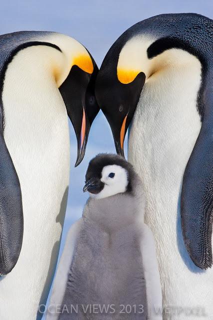 пингвины мама и папа с маленьким пингвинёнком
