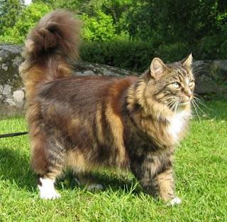 9 Ras Kucing Lucu Yang Ada Di Dunia