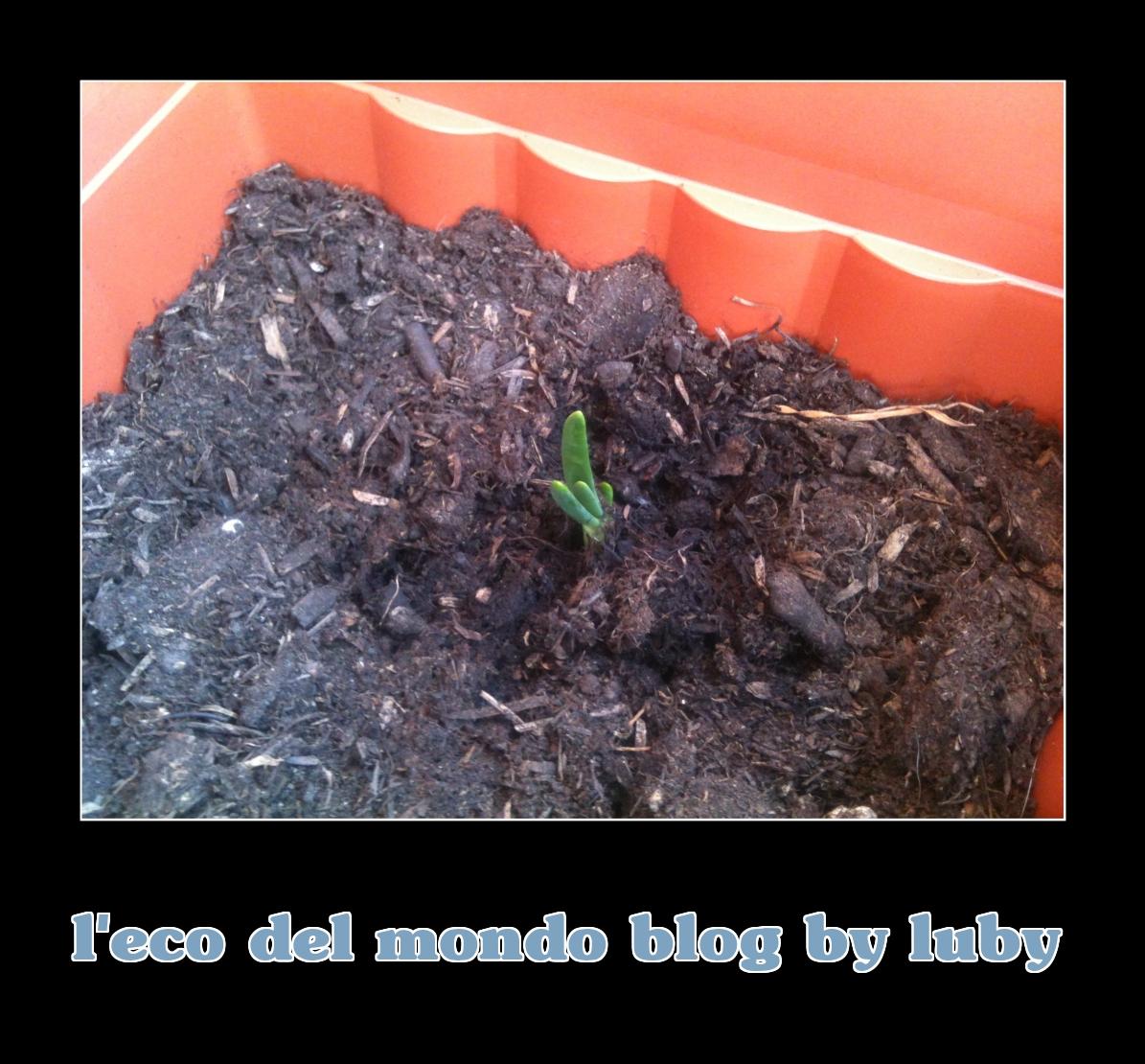 Come piantare aglio cipolla e patate orto sul balcone da for Piantare aglio