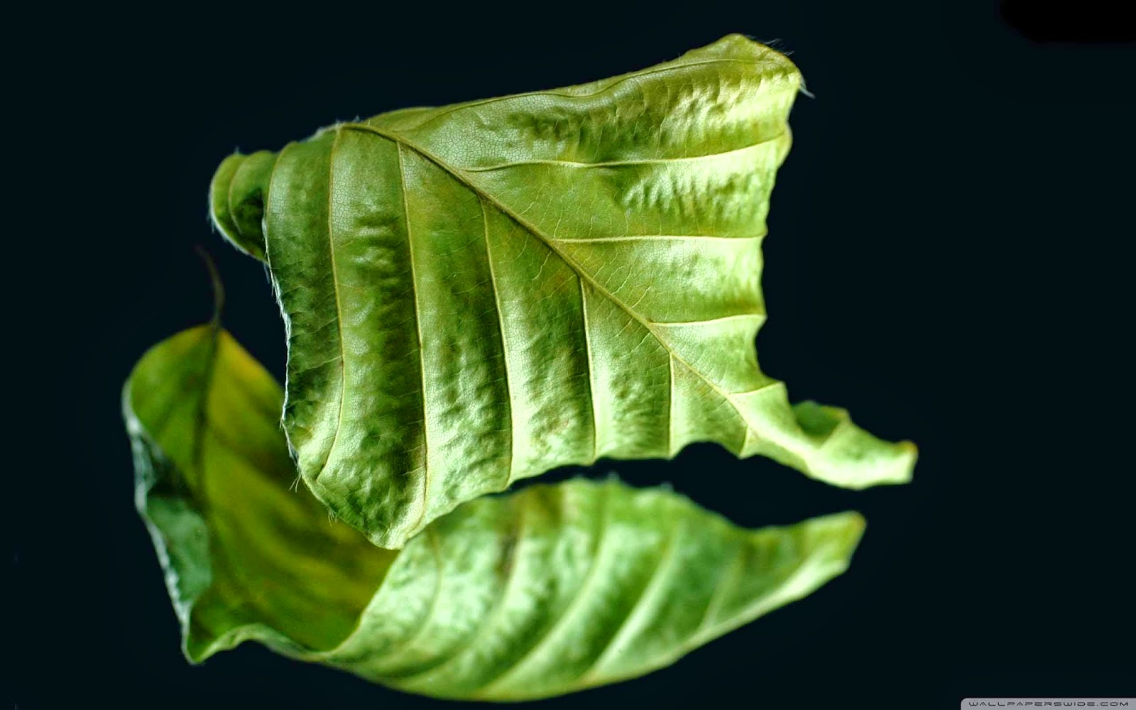 dry green leaf wallpaper