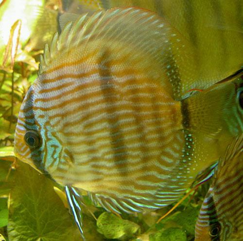 Criadero de peces ornamentales septiembre 2012 for Criadero de peces ornamentales