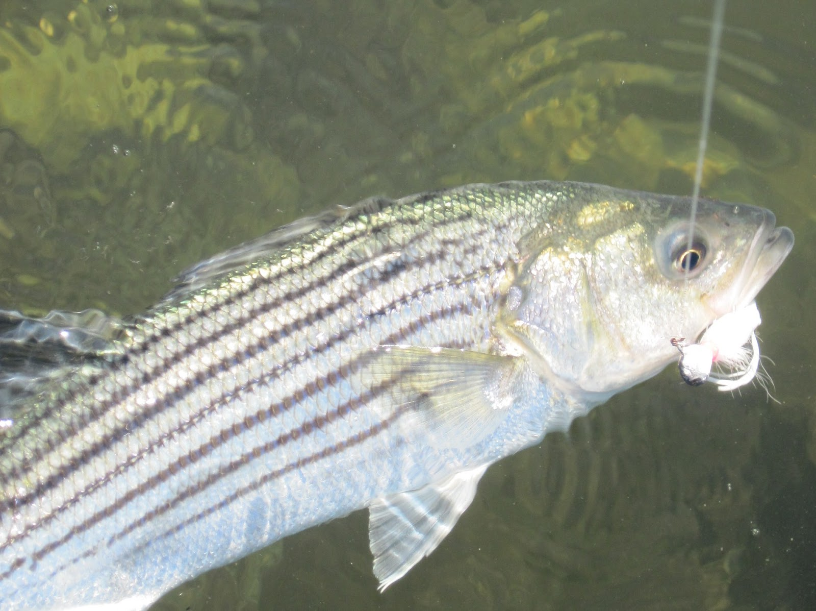 Rhode island striped bass unexpectedly good for Striped bass fishing tips