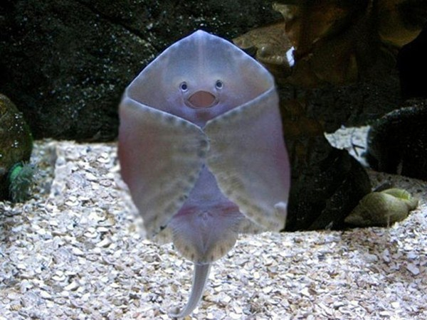 funny animal pictures, cute baby stingray