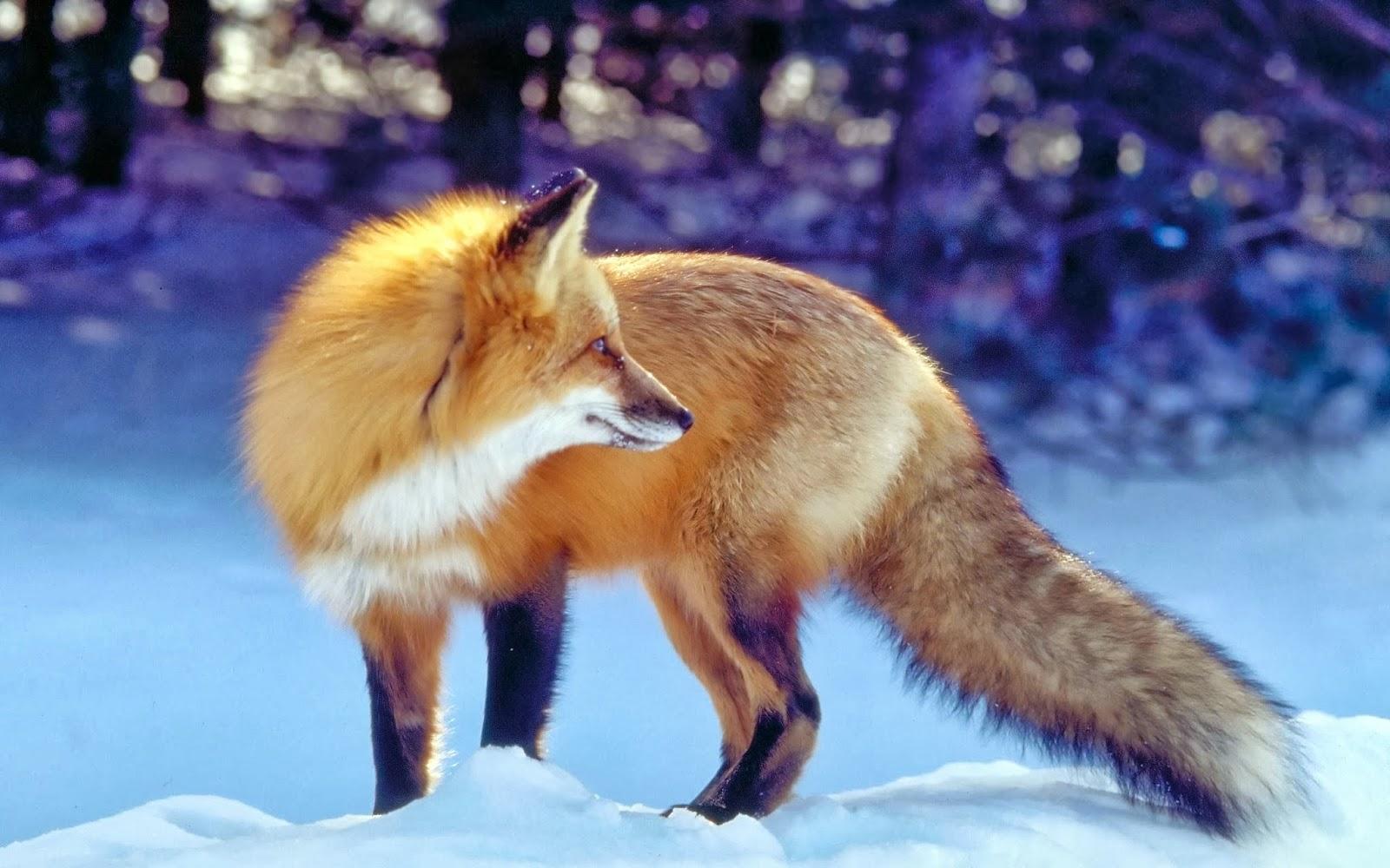 Fox Wallpapers Wallpaper Albums