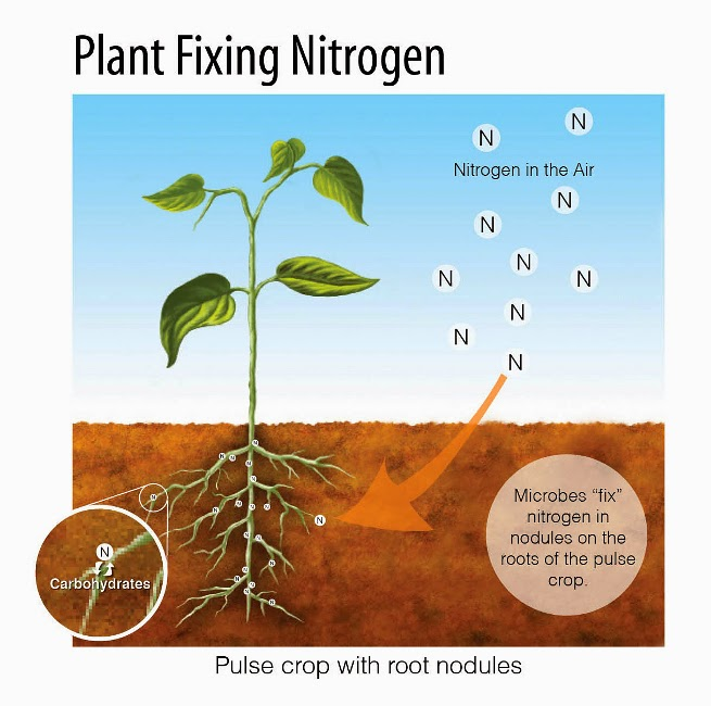 nitrogen fixation is a process that changes plant and soil relationship