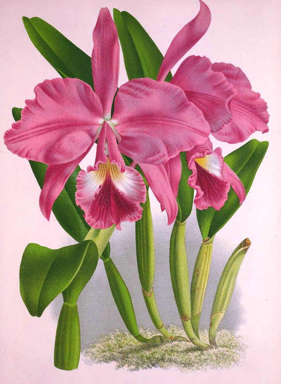olímpia reis resque caprichosas orquídeas