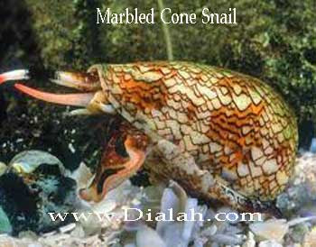 Marbled con snail