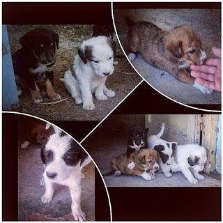 Πριν 1 μηνα γεννηθηκαν αυτα τα πανεμορφα κουταβακια απο αδεσποτη σκυλιτσα στα Ταρσινα Κορινθιας. Ποιος ενδιαφέρεται να υιοθετήσει κάποιο από αυτά?