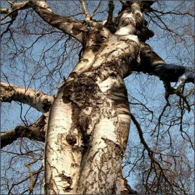 Pohon Ajaib Berbentuk Tubuh Wanita