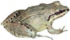 Rã-do-Horto (Leptodactylus cf. notoakitites)