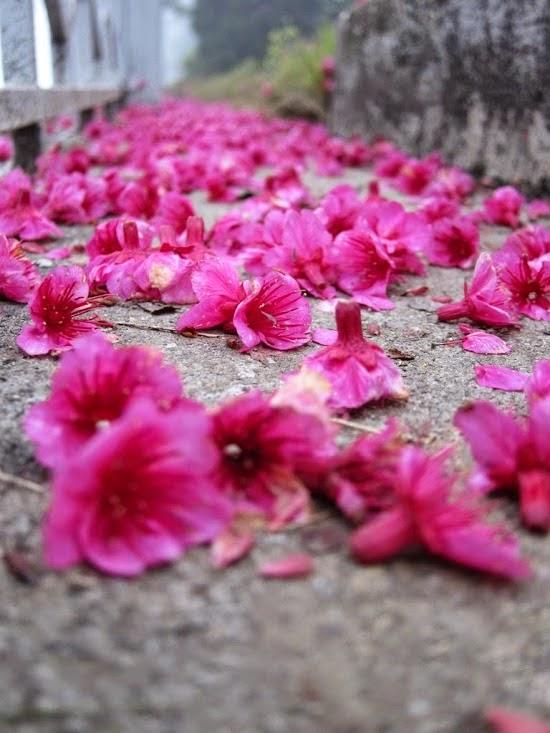 tải hình nền hoa đào nở đẹp
