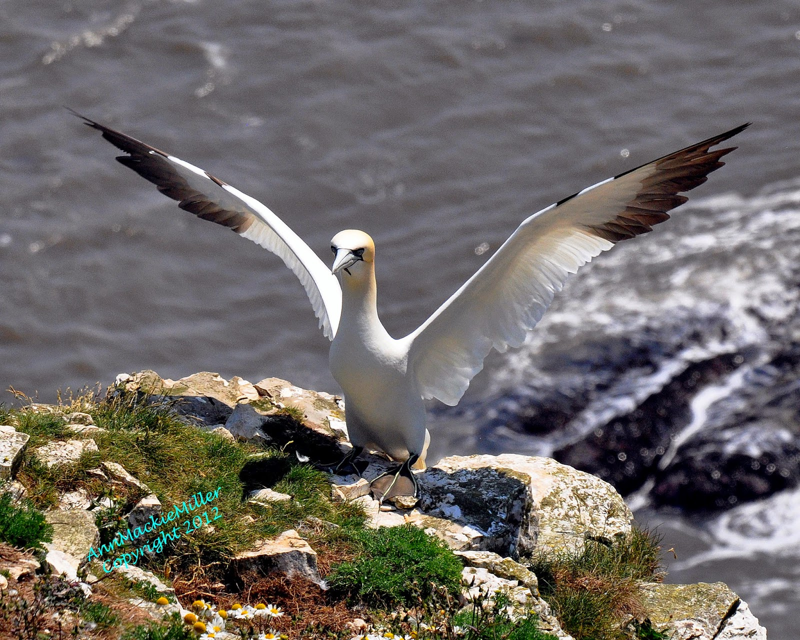 adult gannet with spread wings