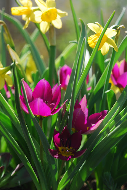 Tulip 'Persian Pearl' and Narcissus 'Tete-a-tete'