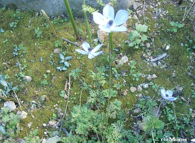Flor de ANÉMONA Anemone coronaria