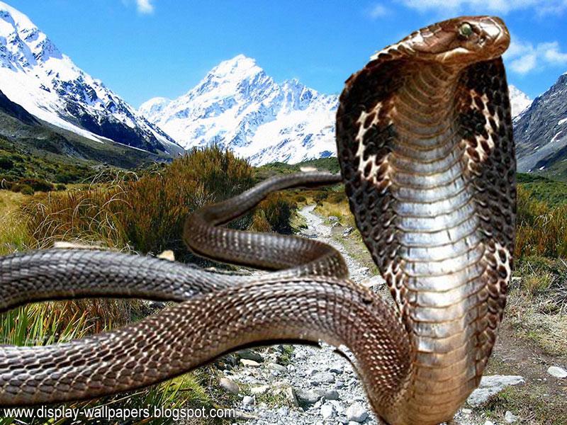 King Cobra Snake Wallpaper Hd
