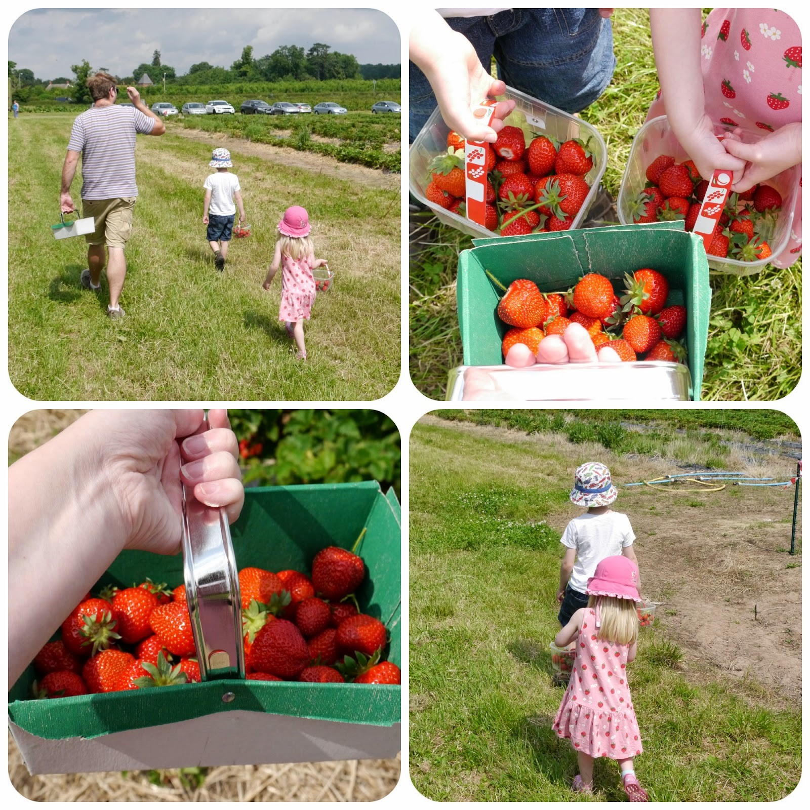 Strawberry Picking Fun