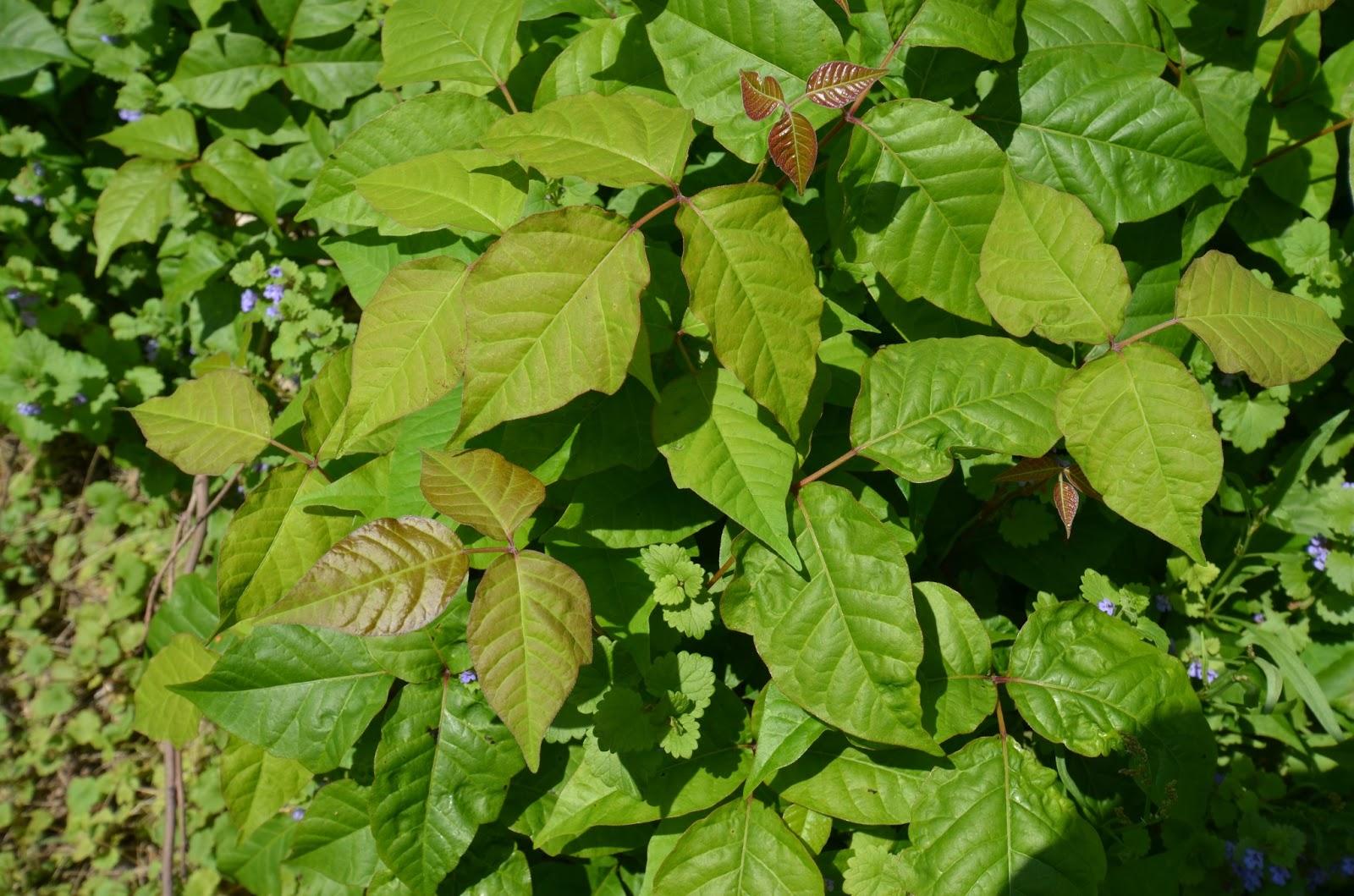 ivy vine leaves