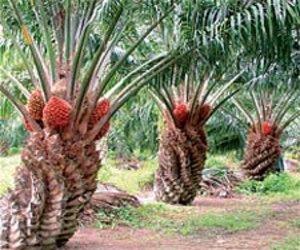 kelapa-sawit-berbuah-banyak.jpg