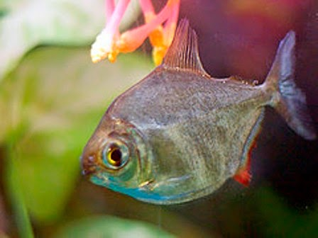 Peaceful Freshwater Fish The Silver Dollar Fish