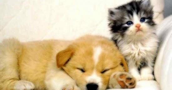 Infocardiovet amlodipina e cuore nel cane e nel gatto for Vasi coronarici