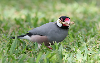 Java Sparrow Bird Pictures