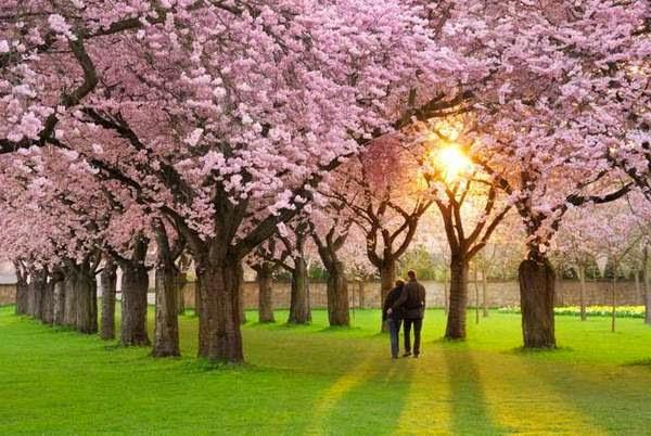 празник на цъфналите вишни сакура