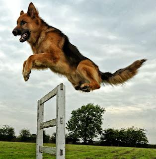 تدريب الكلاب البوليسية علي القفز