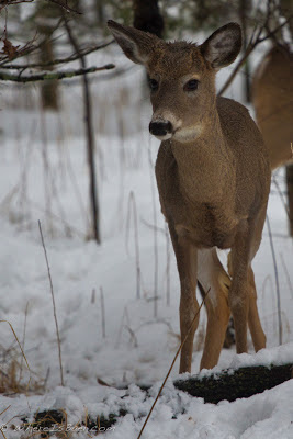 not that skittish, Chris Baer, Minnesota deer