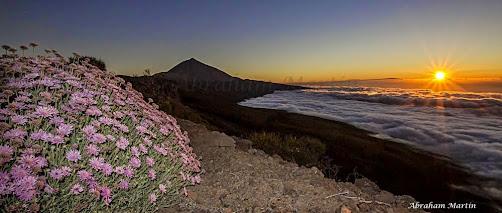 ROSALILLO DE CUMBRE, endemismo de Tenerife