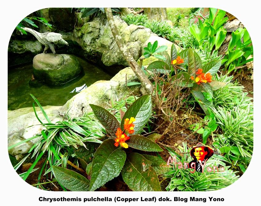 Bunga Chrysothemis pulchella (Copper Leaf) - Blog Mang Yono-1
