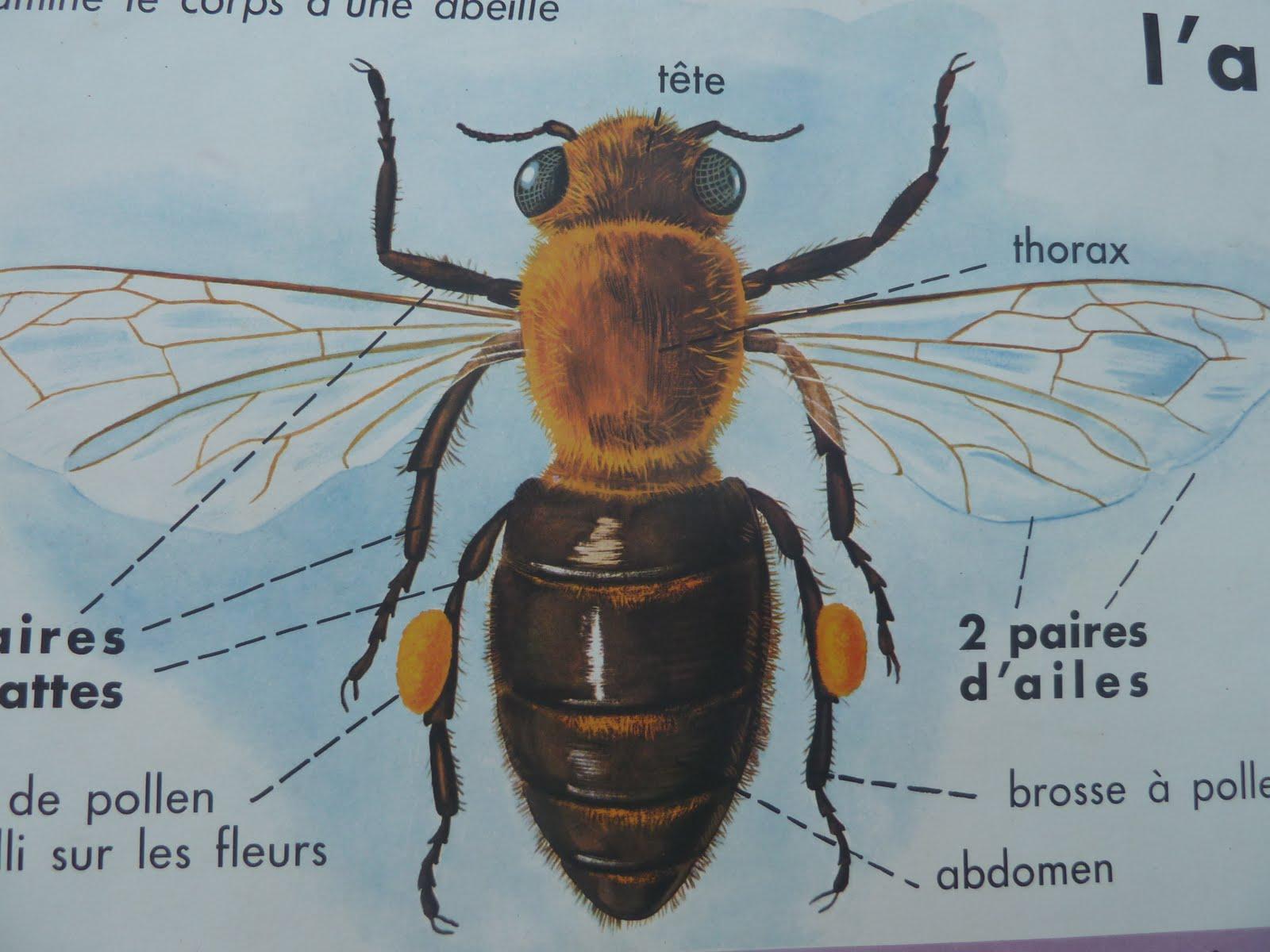 Bee Anatomy Diagram Poster - DIY Wiring Diagrams •