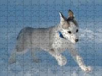 Little Siberian Husky dog