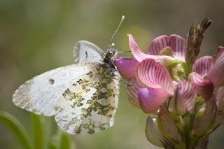Para ampliar Anthocharis cardamines (Mariposa aurora, musgosa) hembra, reverso hacer clic
