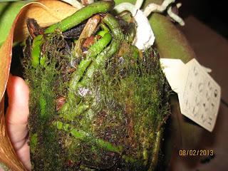 Как выглядят водоросли на корнях фаленопсиса
