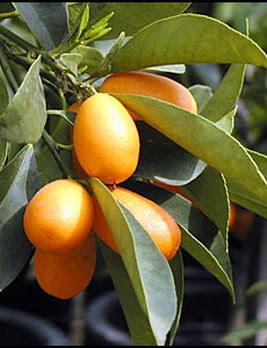 Kumquats Nagami