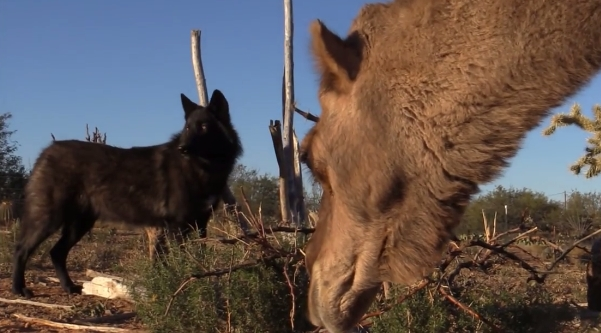 What Do Wolves Think of Camels? - Wolf meets 2 curious camels