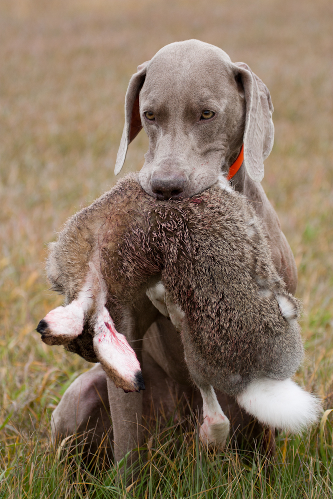 Pointing Dog Blog: Breed of the Week: The Weimaraner Part 3