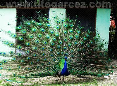 Pavão Indiano surpreende e encanta os visitantes do Parque dos Falcões com toda a sua exuberância