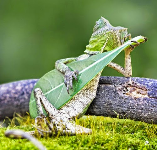 elvis presley green frog