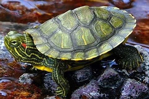 The Caretta Caretta tortoises prefer the Mediterranean beaches . They ...