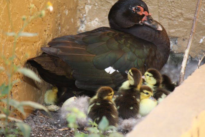 Baby ducklings hatching