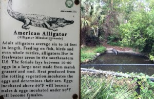 Alligator Calusa Nature Center & Planetarium, Fl