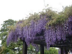 長谷寺のフジ