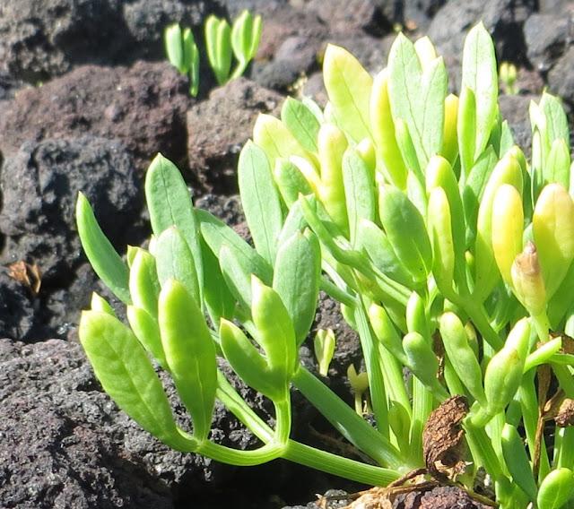 Ampliação de Fotografia macro da planta Perregil ou Funcho do Mar junto à zona balnear dos Biscoitos. Esta planta é utilizada para fazer curtume